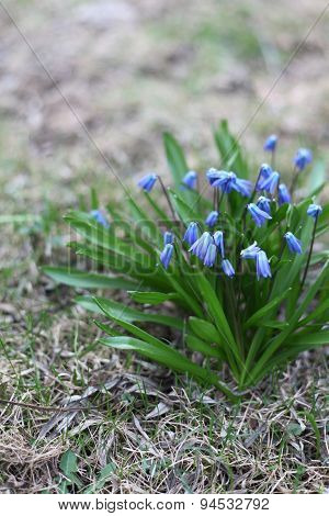 Scilla Siberica Flowers(siberian Squill, Wood Squill) Closing In The Evening
