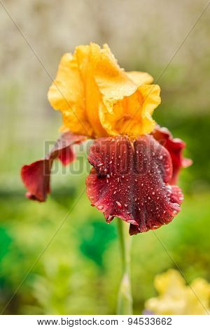 Rare Yellow And Purple Color Iris Flower On A Natural Green Grass Background