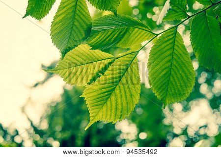 Beech Tree With Green Leaves