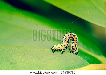 Erannis Defoliaria Caterpillar Crawling
