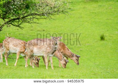 Deer Herd On Green Grass