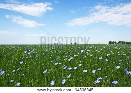 Blooming Blue Flax In A Farm Field