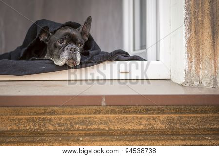 Bulldog lying on the windowsill.