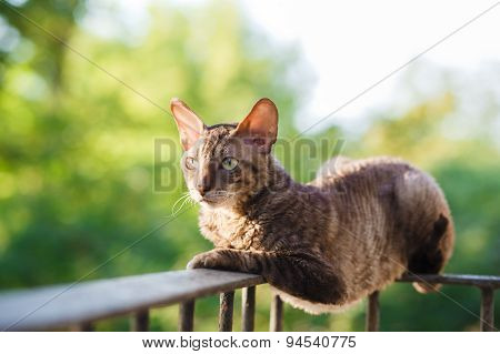 Cornish Rex Gray Cat