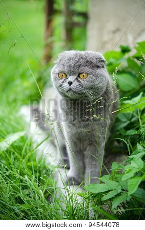 Scottish fold cat