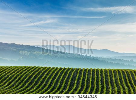 Panorama of furrows with sprouts in rolling ploughed fields of Moravia, Czech Republic
