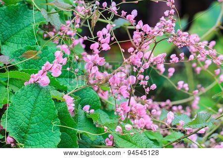 pink Confederate vine flower
