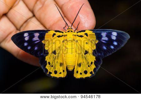 Dysphania Militaris Moth