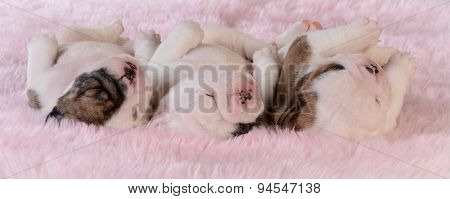 sleeping puppies - three bulldog puppies in a row on pink background - three weeks old