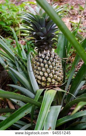 Green Pineapple Growing On A Bush