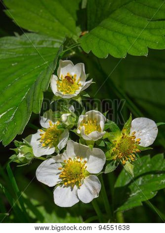 Flowering Strawberry Close Up