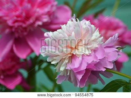 ?bloom white - pink peony.