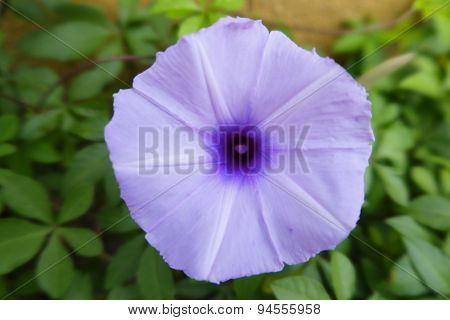 Light Purple Ipomoea among the bushes