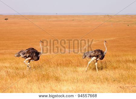Female Ostriches, Amboseli Park, Kenya