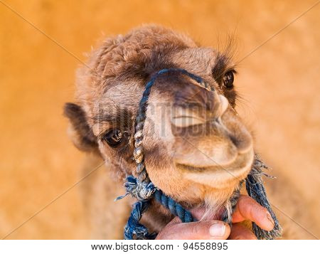 Baby Camel Close Up