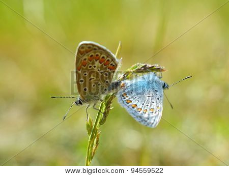 Silver-studded Blue Butterfly - Plebejus argus- male and female