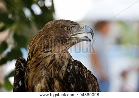 Portrait In Profile Of A Eagle