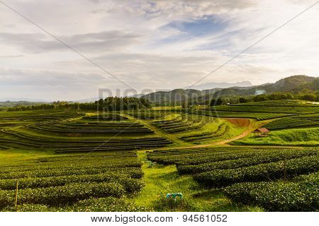 Tea Plantation Landscape With Sunrise