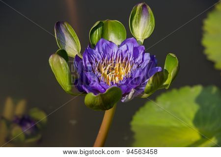 Cute Purple Water Lily