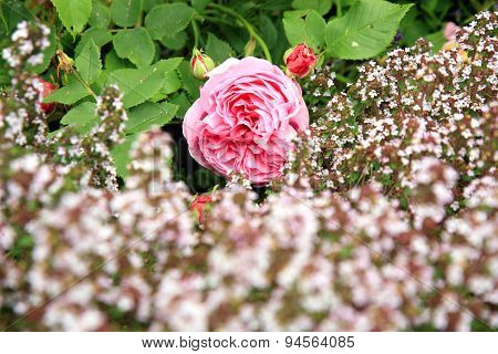 Historic pink rose Louise Odier and thyme