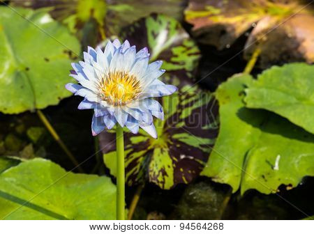Lite Blue Water Lily