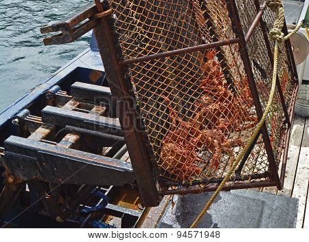 Alaskan King Crab Caught in Trap