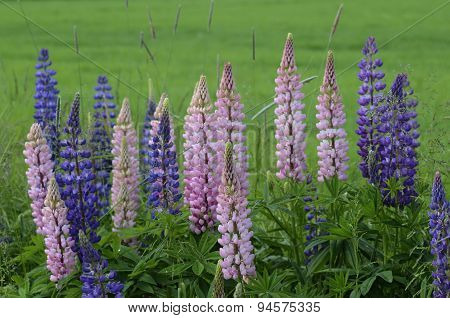 Blooming Lupines On The Side Of Road