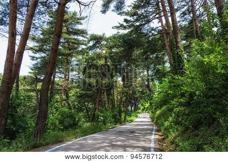 Bike Trail In Pine Tree Forest