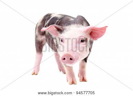 Funny little piglet