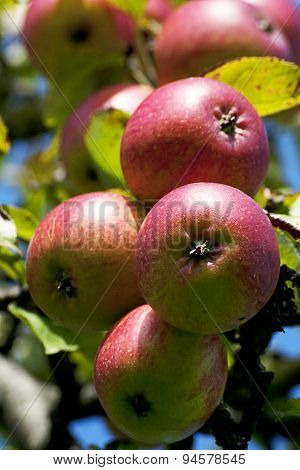 Apple tree with ripe fruits