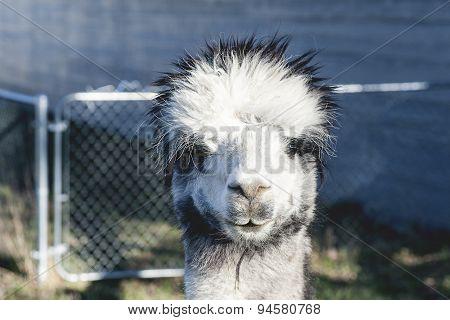 Silver Gray Alpaca