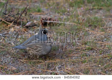 California Quail - Calipeple Californica)