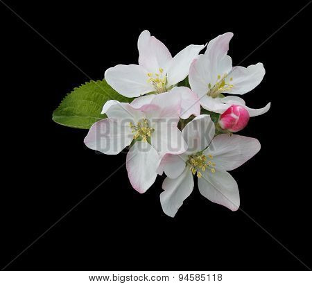 Isolated Apple Blossom