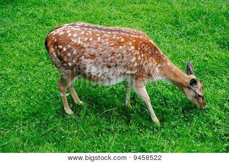 spotty deer
