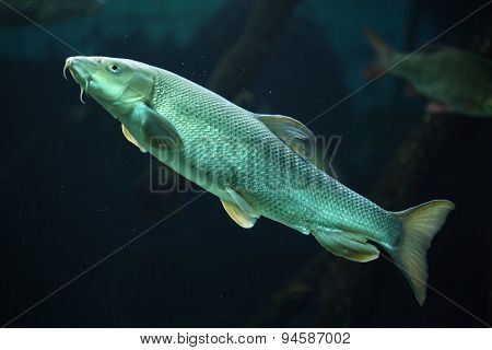 European barbel (Barbus barbus). Wildlife animal.