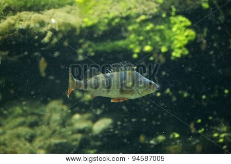 European perch (Perca fluviatilis). Wildlife animal.