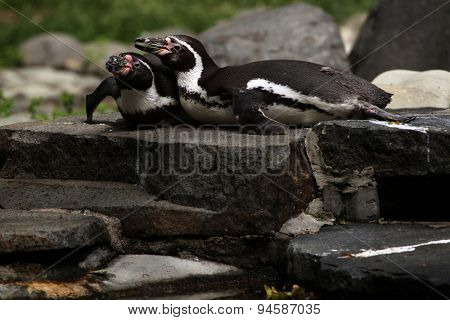 Humboldt penguins (Spheniscus humboldti), also known as the Chilean penguins. Wildlife animal.