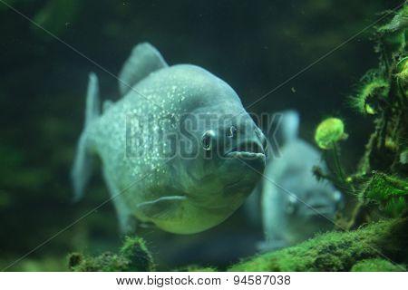 Piranha (Pygocentrus piraya), also known as the man-eating piranha. Wildlife animal.