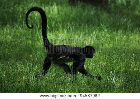 Geoffroy's spider monkey (Ateles geoffroyi). Wildlife animal.