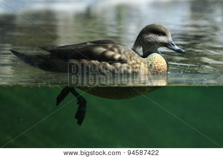 Crested duck (Lophonetta specularioides). Wildlife animal.