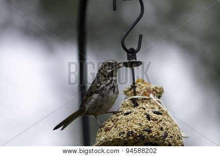 Finch Eating Seeds