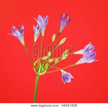 Brodiaea Flower