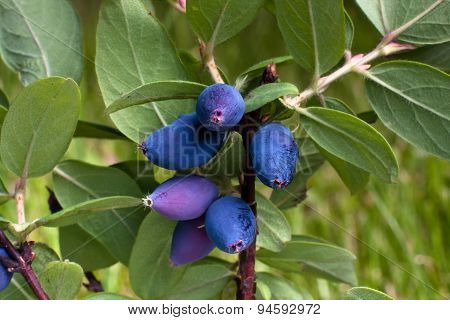 Fresh Blue Berries Honeysuckle On The Branch