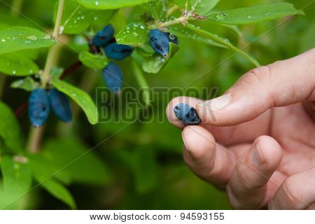 Hand Of A Woman Gathering Berries Honeysuckle