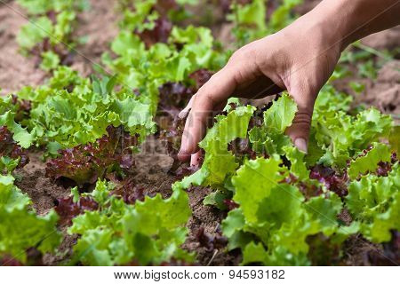 Hand Of Woman Wich Going To Gather Lettuce