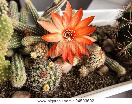 Small Cactus With Red Flower