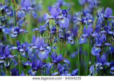 Flower Bed With Iris