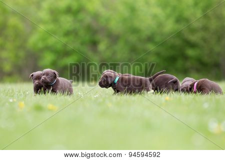 Brown Labrador Retriever Puppies