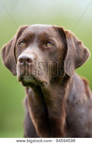 Face Of Labrador Retriever Dog