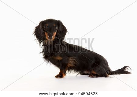 Longhaired Dachshund Dog
